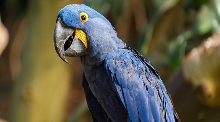 Expensive Animals Hyacinth Macaw